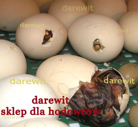 zielononóżka z inkubatora darewit