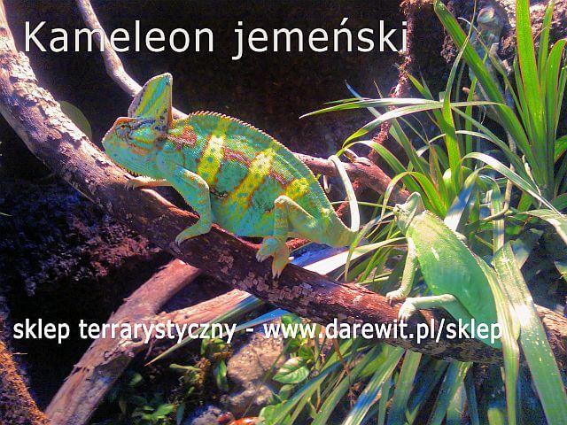 kameleon jemeński- parka w terrarium