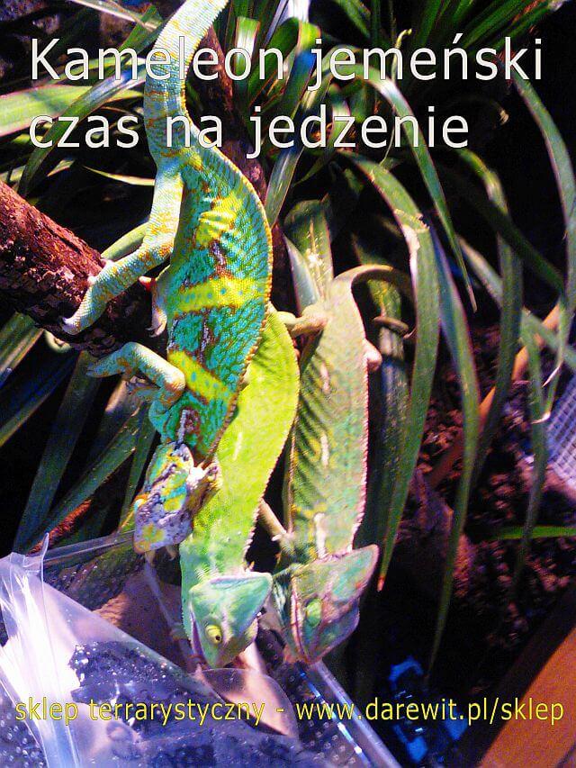Karmienie kameleona jemeńskiego - darewit Warszawa