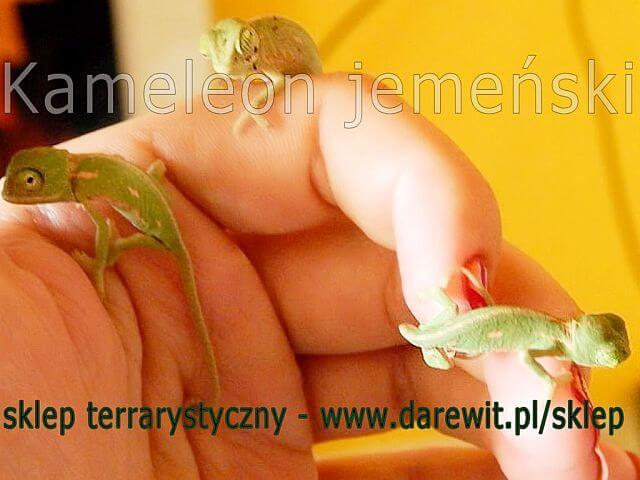 Noworodki kameleona jemeńskiego - darewit.pl