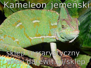 poradnik o hodowli kameleona jemeńskiego w domu