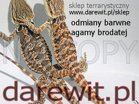 Odmiany barwne młodych agam brodatych - darewit