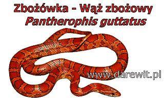 Wąż zbożowy - zbożówka - darewit.pl