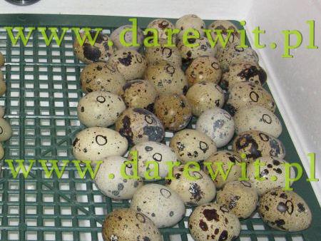 jajka przepiórek do inkubatora