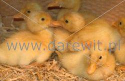 ogrzewanie kaczek, kaczuszek