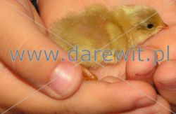 mała przepiórka z inkubatora darewit