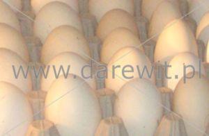 prześwietlanie jaj w czasie inkubacji