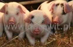 ogrzewanie świń, prosiąt, warchlaków