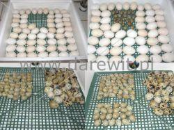 nakładanie jaj do inkubatora