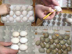 znakowanie jaj wylęgowych